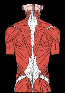 illustration muscles dos humain